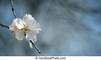 Almond flower on a blue background