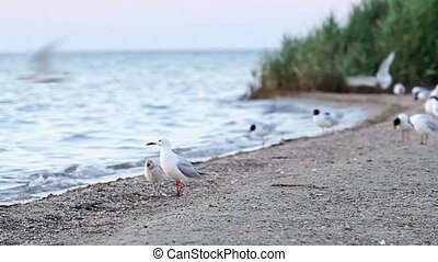 seagull-mother feeds her chick 1