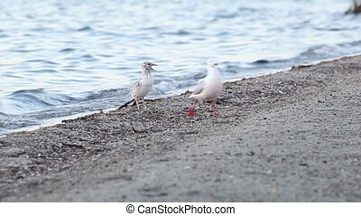 seagull-mother feeds her chick 3 - seagull-mother feeds her...