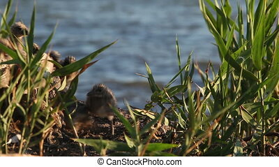 nestlings gulls, shallow depth of field 1 - nestlings gulls,...