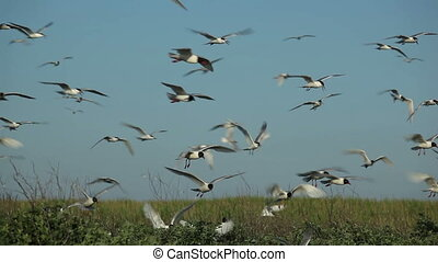 Seagulls fly over their nests - hundreds of birds flying in...