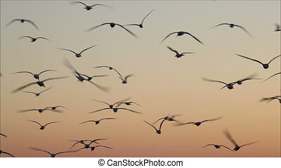 large number of gulls flying against the evening sky 4 -...
