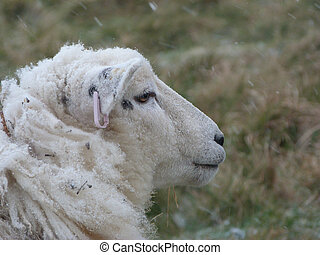 Face of a Romney Ewe in Winter