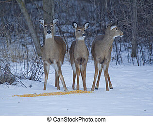 Three Whitetail Deer alert at Corn - Three Whitetail Deer,...