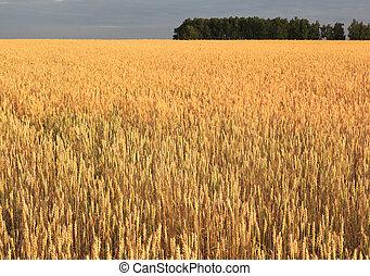 Field of ripe wheat.