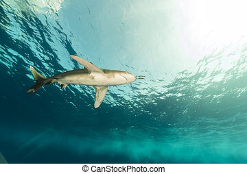 Oceanic whitetip shark (carcharhinus longimanus) at...