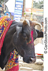 sacred cow in Varanasi street, India - sacred cow in...