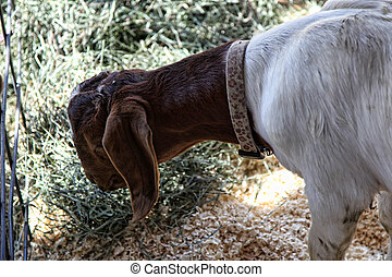 Young Red and White Boer Goat - Young red and white Boer...