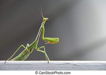 Praying Mantis - The wild carnivorous insect known as the...