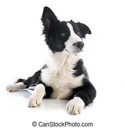 puppy border collie - portrait of puppy border collie in...
