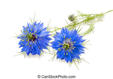 nigella - two nigella flowers isolated on white