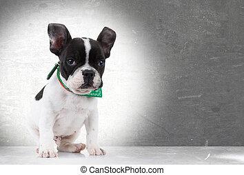 cute  french bulldog puppy dog sitting