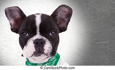 face of a cute french bulldog puppy dog looking at the...