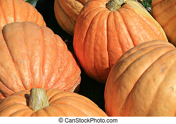 orange pumpkins - large orange pumpkins grown in a 15 year...