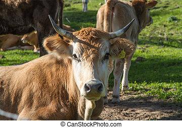 Descansar, pasto o césped, verde, vaca