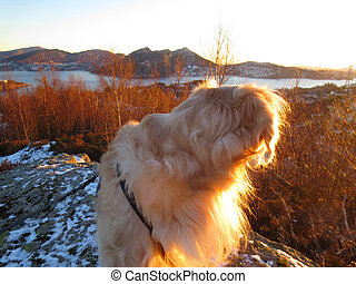 Golden retriever enjoying the view - Golden retriever in the...