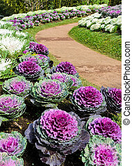 Ornamental cabbage with walkway in garden