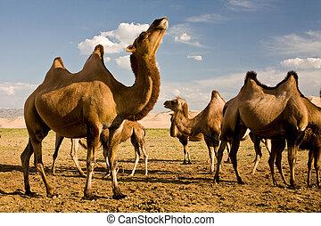 Camels at Gobi dunes - Camels standing near Gobi sand dunes...