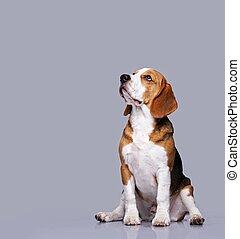 beagle, cão, isolado, cinzento, fundo