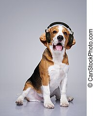 Beagle dog wearing headphones