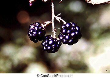 Blackberry Bush With Fruit