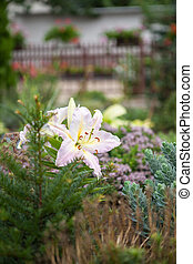 Lilium regale - Beautiful colored Royal lily flower in...