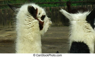 Alpaca close up at farm