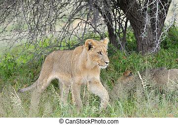Young lion in the Kalahari