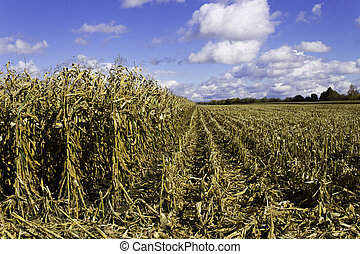 Corn field in the fall during harvest - Corn field during...