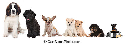Different Breeds of Puppy Dogs on White - Lineup of 5...