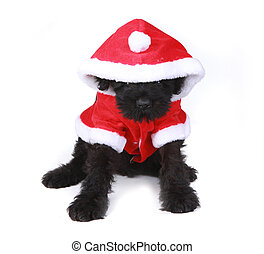 Cute Black Russian Terrier Puppy Santa on White Background -...