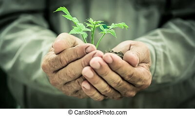 Ecology concept - Old man`s hands holding green young plant....