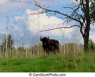 Bull in natural habitat