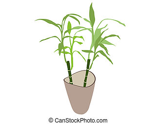 bamboo plant in pot isolated on white background