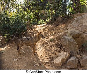 Wolf in natural habitat
