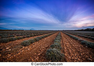 Beautiful sky over autumnal lavender field