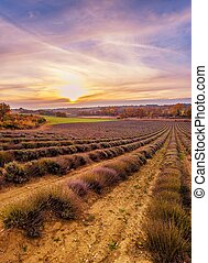 Colorful sky over lavender field