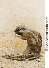 Chipmunk - Little Ground squirrel (Xerus inaurus) Eats...
