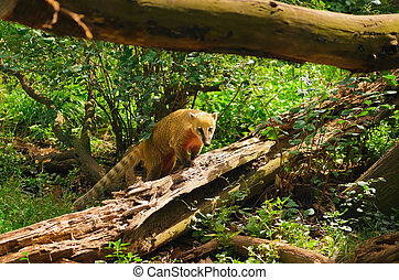 Ring-tailed Coati Is Climbing On The Fallen Tree