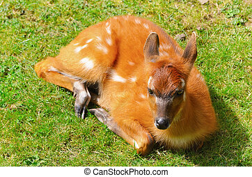 Bushbuck Antelope - Young Bushbuck Antelope Is Lying On The...