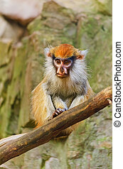Patas Monkey Sitting On Dry Tree Bough