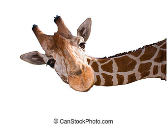 Head of a reticulated giraffe Giraffa camelopardalis...
