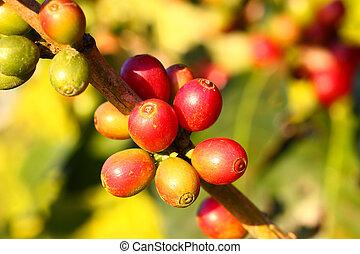 fattoria, caffè, Bacche, albero, Maturo
