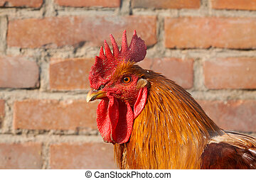 chicken head - a picture of chicken head