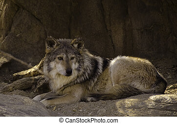 Rare Mexican Gray Wolf - Mexican Gray Wolf