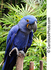 Blue Hyacinth Macaw - Blue Hyacinth macaw parrot standing on...