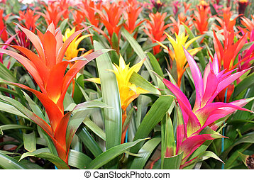 beautiful guzmania magnifica flower - many multicolored...
