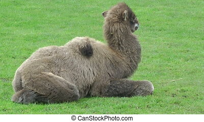 Camel cob resting on green meadow