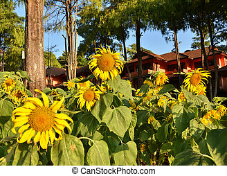 Beautiful sunflowers in Thailand