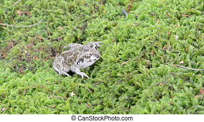 garlic spadefoot toad - closeup of common european garlic...